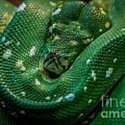 Green Tree Python Curled Art Print