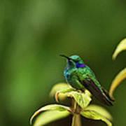 Green Violetear Hummingbird Art Print