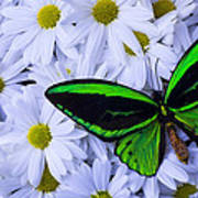Green Wings In The Mums Art Print