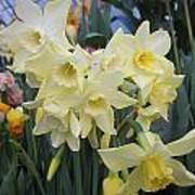 Greenhouse Daffodils Art Print