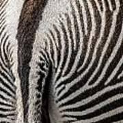 Grevy's Zebra 5 Art Print