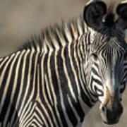 Grevys Zebra Standing In Plains Kenya Art Print