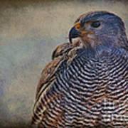 Grey Hawk Art Print