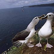Grey-headed Albatrosses At Nest Site Art Print