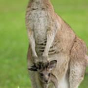 Grey Kangaroo And Joey  Art Print
