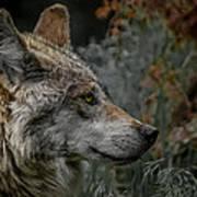 Grey Wolf Profile 3 Art Print