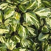 Grisilinia Littoralis 'dixon's Cream' Art Print