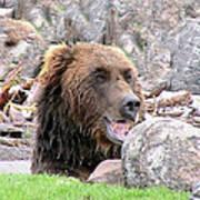 Grizzly Bear 02 Postcard Art Print