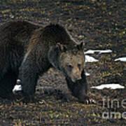 Grizzly Bear  #2510 Art Print