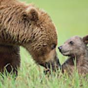 Grizzly Bear And Cub in Katmai Art Print