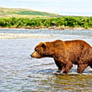 Grizzly Bear Determined To Catch A Salmon This Time In The Moraine River  Art Print