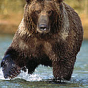 Grizzly Bear Female Looking For Fish Art Print