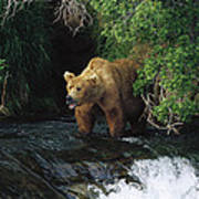 Grizzly Bear Fishing Brooks River Falls Art Print