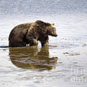 Grizzly Bear In Muddy Water Art Print by Mike Cavaroc