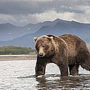 Grizzly Bear In River Katmai Np Alaska Art Print
