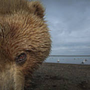 Grizzly Bear In Tidal Flats Alaska Art Print