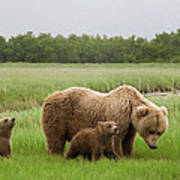 Grizzly Bear With Spring Cubs Art Print