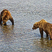 Grizzly Bears Looking For Salmon In Moraine River In Katmai Np-ak Art Print
