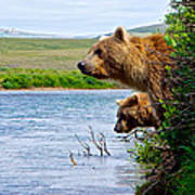 Grizzly Bears Peering Out Over Moraine River From Their Safe Island Art Print