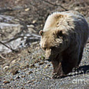 Grizzly By The Road Art Print