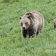 Grizzly Family On Dunraven Art Print