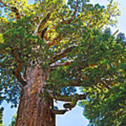 Grizzly Giant Sequoia Top In Mariposa Grove In Yosemite National Park-california    Art Print