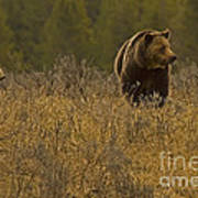 Grizzly Sow And Cub   #6365 Art Print