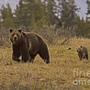 Grizzly Sow And Cub  #6382 Art Print