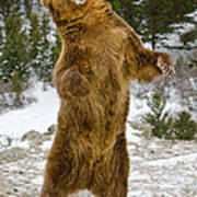 Grizzly Standing Art Print
