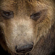Grizzly Upclose Art Print