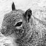 Ground Squirrel With Sandy Nose Art Print