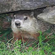 Groundhog Hiding In His Cave Art Print