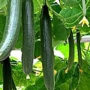 Growing Cucumbers Art Print