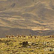 Guanaco Herd, Argentina Art Print