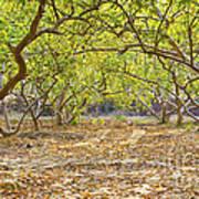 Guava Garden In Autumn Art Print
