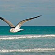 Gull In Flight Art Print
