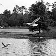 Gulls In Flight Mb083bw Art Print