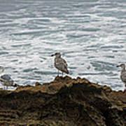 Gulls Podium  Art Print