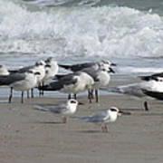 Gulls Terns Skimmers Art Print