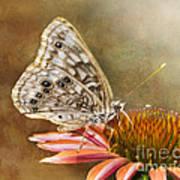 Hackberry Emperor Butterfly 2 Art Print