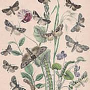 Hadenidae - Xylinidae Art Print
