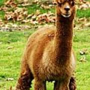Hairy Brown Gumby Aka Brown Alpaca Art Print