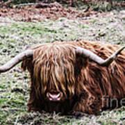 Hairy Cow Art Print