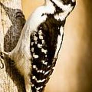 Hairy Woodpecker Art Print