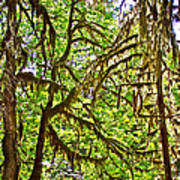 Hall Of Mosses In Hoh Rain Forest In Olympic National Park-washington Art Print