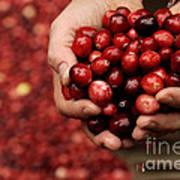 Handful Of Fresh Cranberries Art Print