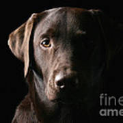 Handsome Chocolate Labrador Art Print by Justin Paget