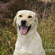 Happy Labrador Art Print