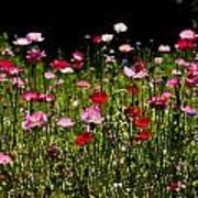 Happy Poppies Art Print