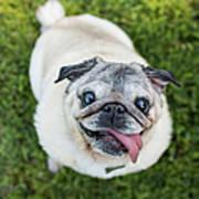 Happy Pug Dog Looks Up At Camera Art Print